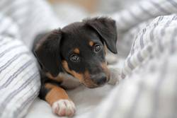 Hundewelpe im Bett