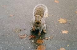 kanadisches eichhörnchen