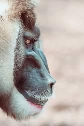 Drill Monkey (Mandrillus Leucophaeus) Portrait