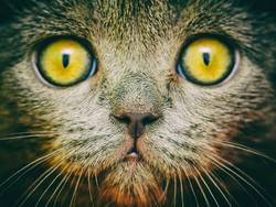 Britisches kurzes Haar-Katzen-Portrait