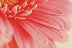 Pink Gerbera Flower Petals Abstract Macro