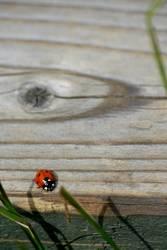 Käfer im Hohen Venn