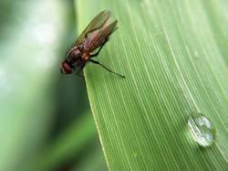 Fliege auf Schilfblatt