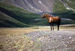 Island.Pferd