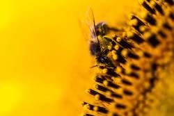 Biene und Blütenstaub