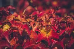 Rote Blätter an Herbstlicht