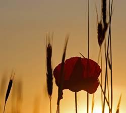 Eine Mohnblume aufs Korn genommen