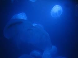 Blaue Quallen