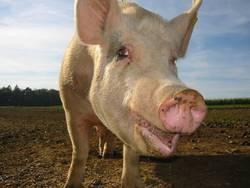 Schweinegesicht