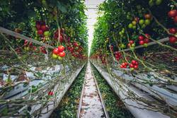 Mega Glasshouse for Tomatoes and Pepper
