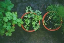 Frische Bio Garten Kräuter