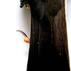 Wassertropfen auf des Schwanzes Federn