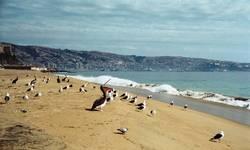 Pelikan am Strand von Valparaiso / Chile