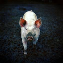 Bioschwein
