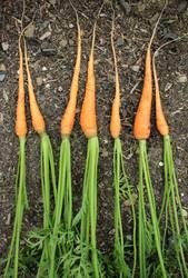 7 Karottenzwerge