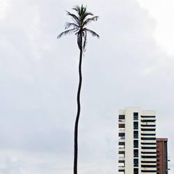 Ambitious Palm Tree