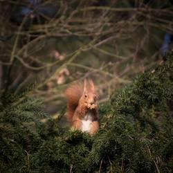 Hämisches Hörnchen