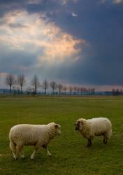 Kampf der Schafe