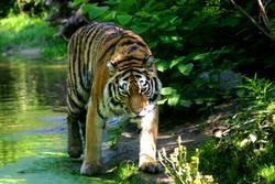 Ein Tiger geht um