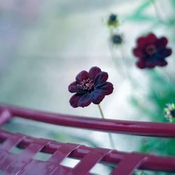 Schokoladenblümchen