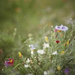 wildblumenbienenwiese