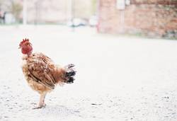 Oh, have you seen my rooster?