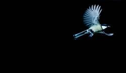 Fliegender Vogel, Kohlmeise