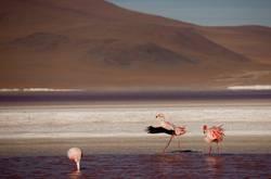 Flamingos in Anden