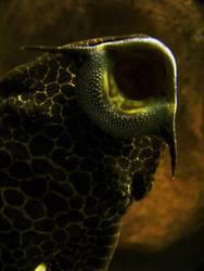 Saugwels in Aquarium