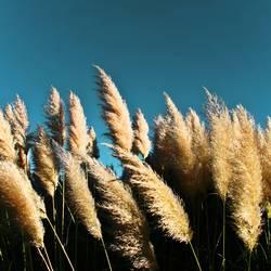 Süßgräser im Wind