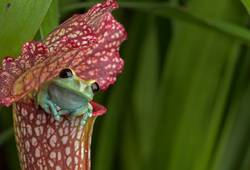 Maroon Eyed Tree Frog on Red Pitcher Plant