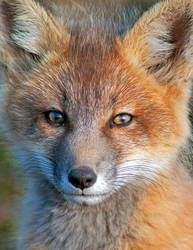Baby Fox Close Up