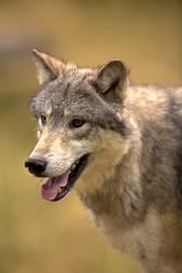 Nordamerikanischer grauer Wolf