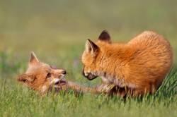 Junges Fuchsspiel
