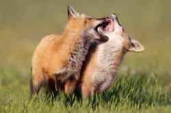 Junge Füchse beim Spielen