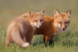 Junge Fox-Kits