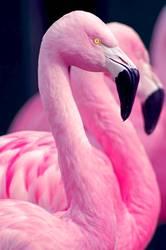 Chilenisches Flamingoportrait
