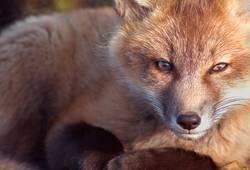 Baby-Fox-Porträt