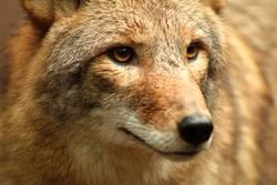 Kojote hautnah