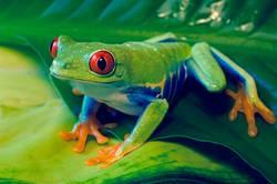 Rotäugiger Baum-Frosch auf Blättern