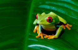 Rotäugiger Baum-Frosch auf riesigem Blatt