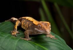 Gecko mit Haube auf riesigem Blatt