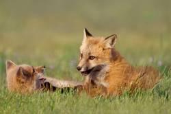 Junge Füchse spielen