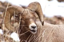 Bighorn Sheep Ram Weiden
