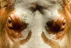 Nilpferd-Gesicht nah oben