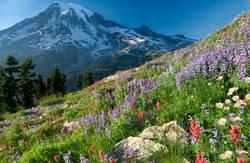 Mount Rainier Wildblumen
