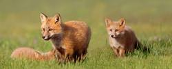 Junge Füchse auf dem Gebiet