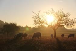 Schafidylle bei Sonnenuntergang
