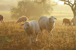 Schafidylle zu zweit