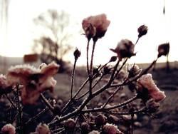 rosen im frostmantel